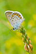 Common Blue (Polyommatus icarus) butterfly (vertical frame).