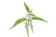 Stinging nettle (urtica dioica)