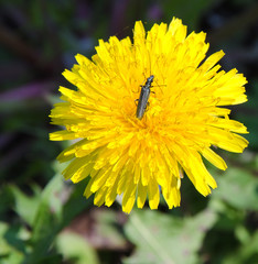 Soldier beetle (Cantharis versicolora) sitting on a dandelion