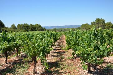 Rangées de vigne