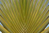 Palm Ravenala Madagascariensis poster