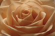Beautiful Peach Coloured Rose Close-up