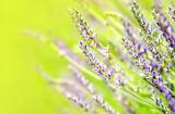 Fresh lavender field