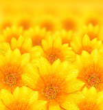 Fototapety Fresh yellow flower background
