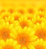 Fototapety Fresh yellow flower background