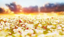 Daisy pola na zachodzie słońca