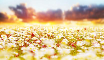 Daisy field over sunset