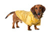 Dachshund in a winter parka