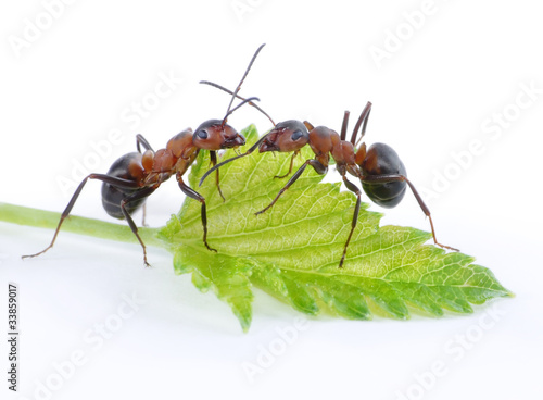 two ants and fresh green leaf