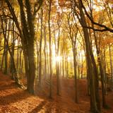Fototapety Sun beaming through an autumn forest.