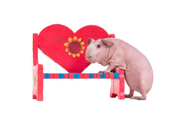 Love affair - guinea pig sitting on red heart shaped bench