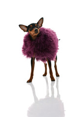 miniature pinscher  in  fur coat