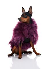 dog in fur coat