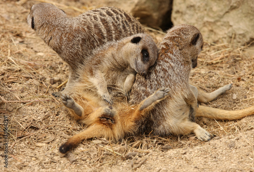 Young Meerkat playing