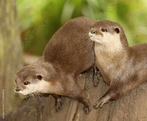 A pair of European Otters