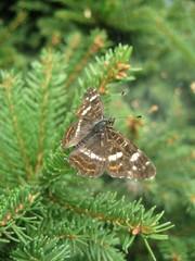 Butterfy -Araschnia levana- Rusałka kratkowiec