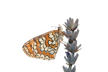 Mariposa en flor de lavanda, hamearis lucina