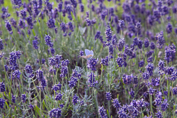 Blue Butterfly Admist the Lavender
