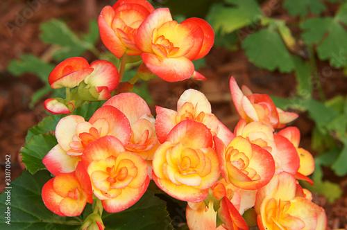 Fleur Begonia