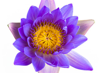 Blue lotus flower and white background.