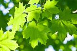 Fototapeta gałąź - liść - Drzewo