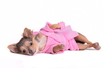 Relaxed chihuahua puppy wearing bathrobe lying after bathing