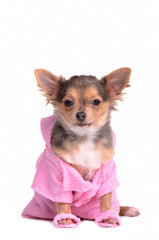 Chihuahua puppy after the bath wearing bathrobe and slippers