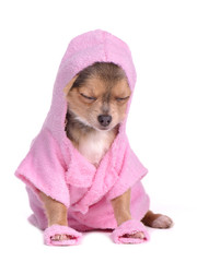 Chihuahua dog after the bath dressed with bathrobe and slippers