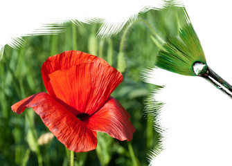 Painting red poppy