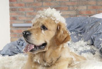 Dog demolishes pillow