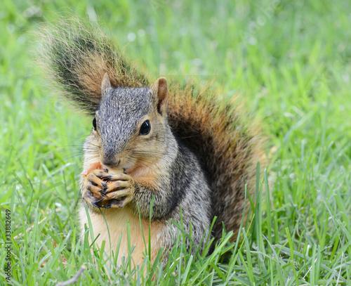 Tuinposter Eekhoorn squirrel eating peanut