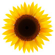 Sunflower isolated, vector.