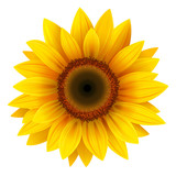 Fototapety Sunflower isolated, vector.