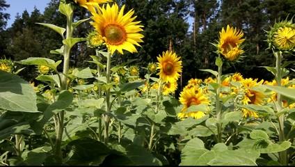 Sonnenblumenfeld bei Templin