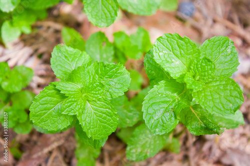 fresh mint on brown background