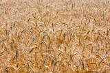 Gold field of ripe wheat