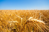 Gold field of wheat