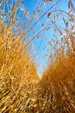 Path through field of wheat