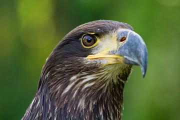 An Eagle Portrait