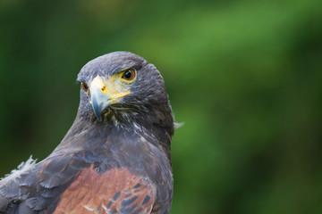A Harris Hawk Portrait
