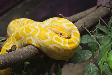 Snake, Close up of Golden Thai Python, focus at eyes