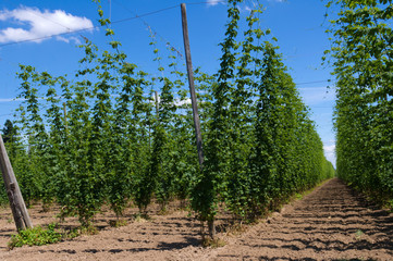 Hop plants on trellis