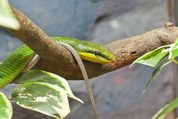 Snake, Close up of Red-tailed Ratsnake, focus at eyes
