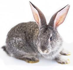 Grey house rabbit on white background isolated