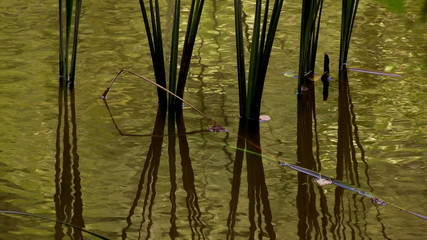 Reed  reflected in water