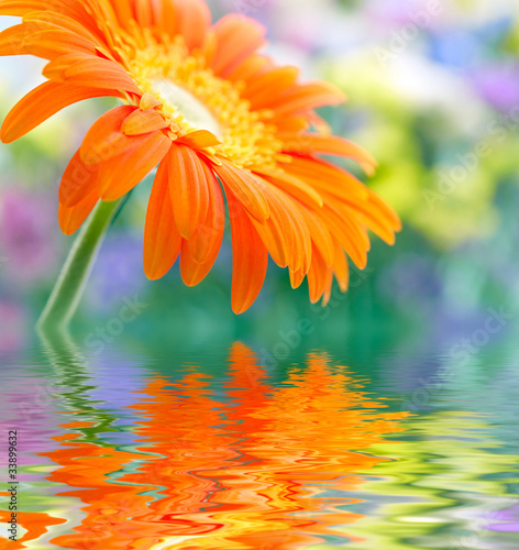 Foto op Canvas Madeliefjes Closeup photo of yellow daisy-gerbera reflected in the water