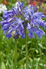 Agapanthe, Agapanthus, Tubéreuse bleue, Lis du nil