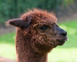 Profile of a brown Llama against a blurred natural background