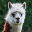 Portrait of a white and brown Llama against a blurred background