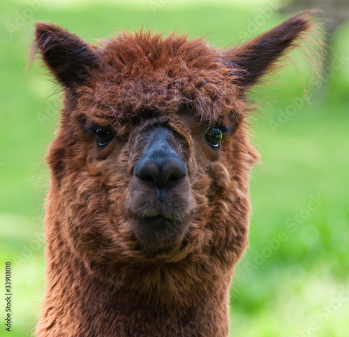 Portrait of a brown Llama against a blurred natural background